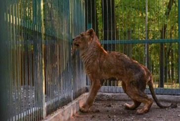 Призоваха за затваряне на зоопарка в Разград след нов случай на ранен лъв