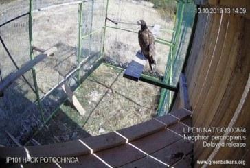 Освободиха млад морски орел в небето над Родопите