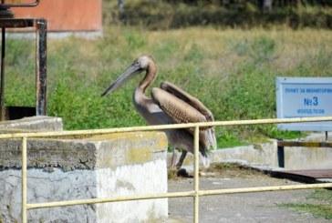 Спасиха бедстващ розов пеликан в Девня