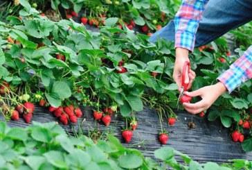 Полша търси берачи на ягоди