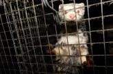 Българският ветеринарен съюз подкрепи забраната на фермите за ценни кожи