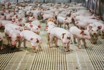 Влизат в сила новите изисквания за по-висока биосигурност при отглеждане на свине в лични стопанства, фамилни и индустриални ферми