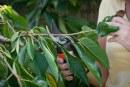 Как резитбата влияе върху плододаването и качеството на плодовете