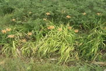 МОСВ: Да пазим природата от инвазивни чужди растения като някои декоративни цветя