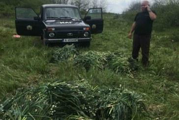 Служители на РДГ – Бургас задържаха 141 килограма блатно кокиче