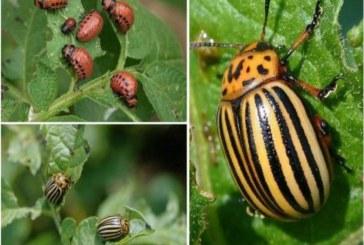 Колорадски бръмбар нападна ранните картофи в Пловдивско