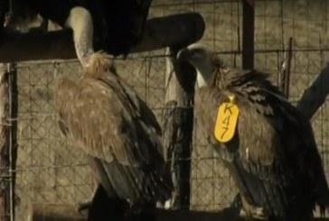 Природозащитниците притеснени заради убийството на черния лешояд (ВИДЕО)