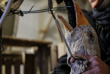 Забрана на принудителното угояване на патици и гъски обсъжда украинският парламент